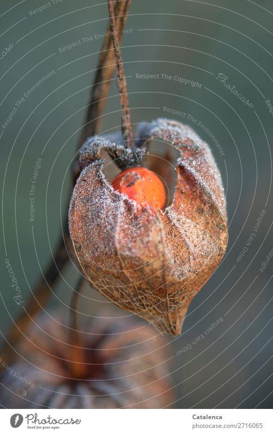 Physalis Frucht Natur Pflanze Urelemente Winter Eis Frost Blüte Lampionblume Garten kalt braun orange türkis weiß Stimmung Design Farbfoto mehrfarbig