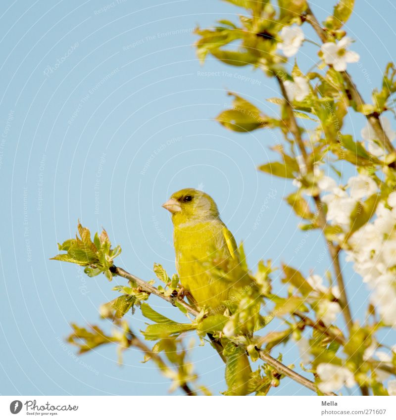 Frühling! Umwelt Natur Pflanze Tier Baum Blatt Blüte Kirschbaum Wildtier Vogel Fink 1 hocken Blick sitzen natürlich Neugier niedlich blau grün Farbfoto