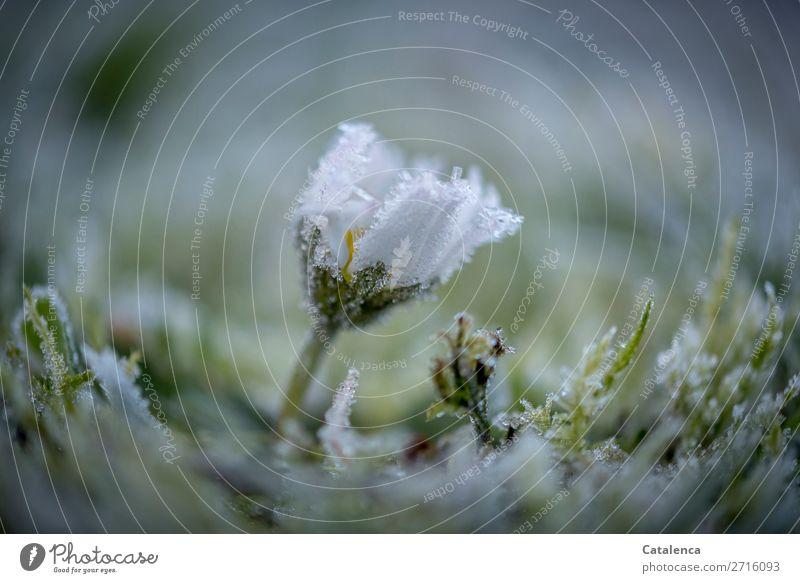 Widerstand Natur Pflanze Urelemente Winter Wetter Eis Frost Blume Gras Moos Blatt Blüte Gänseblümchen Garten Wiese Blühend frieren schön kalt klein gelb grau