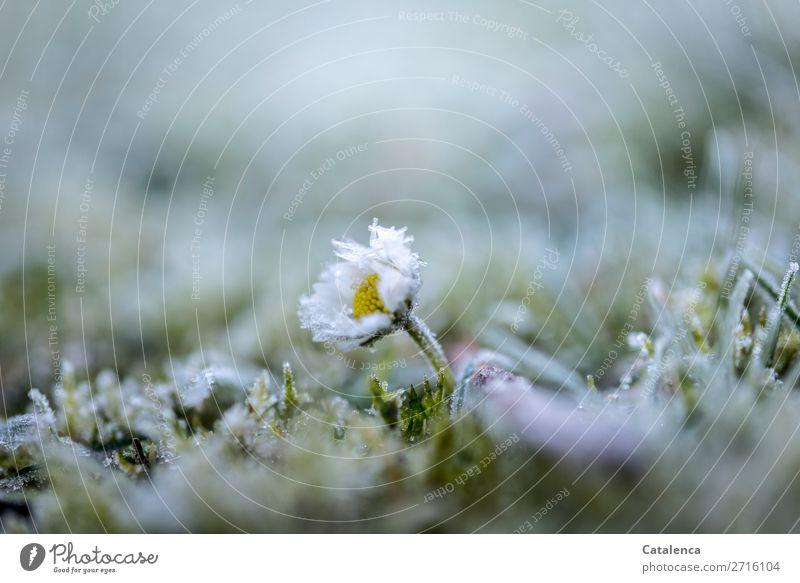 Gänseblümchen Natur Pflanze Urelemente Winter Eis Frost Blume Gras Moos Blatt Blüte Wildpflanze Garten Wiese Eiskristall Blühend frieren verblüht kalt klein