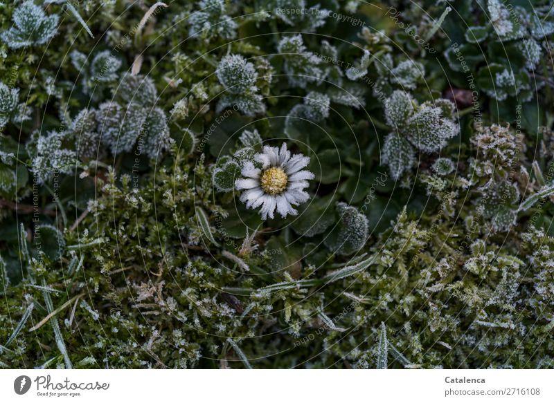 Eisblümchen Natur Pflanze schön grün weiß Blatt ruhig Winter gelb Blüte kalt Wiese Gras klein Garten braun