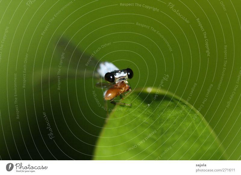 fette beute Pflanze Tier Blatt Wildtier Insekt Klein Libelle 1 2 Fressen grün Blick Beute Farbfoto Außenaufnahme Nahaufnahme Makroaufnahme Menschenleer