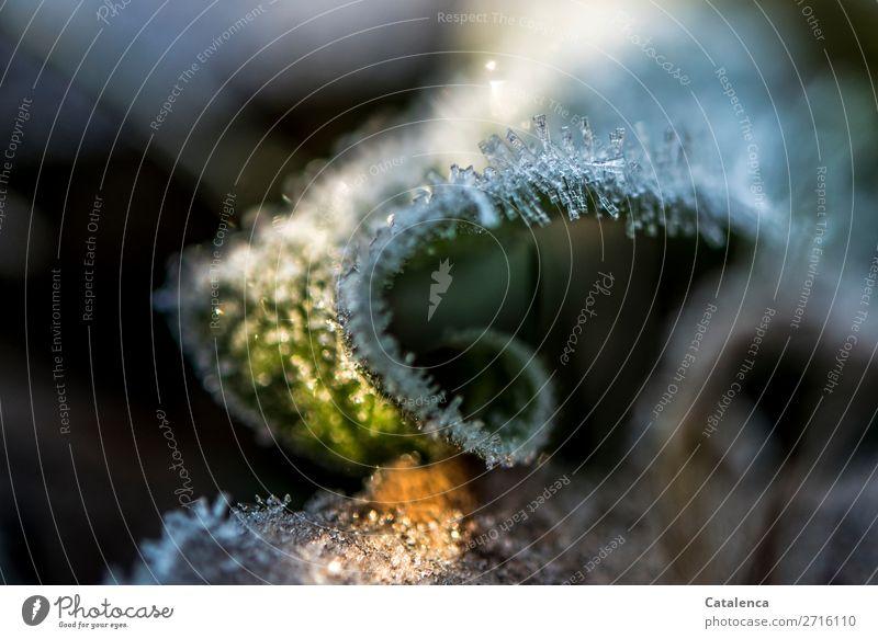 Kringel Natur Pflanze Urelemente Winter Schönes Wetter Eis Frost Baum Gras Blatt Halm Garten Eiskristall Wachstum kalt braun gold grün schwarz weiß Stimmung