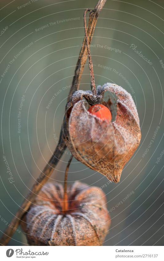 Frostig Natur Pflanze schön grün Winter kalt Garten orange braun Stimmung Eis Vergänglichkeit kaputt Urelemente Überleben