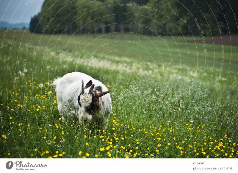 Wer die Wahl hat... Landwirtschaft Forstwirtschaft Umwelt Natur Landschaft Pflanze Tier Frühling Sommer Gras Wiese Hügel Haustier Nutztier Fell Ziegen Horn 1
