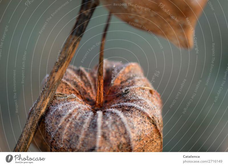 Kälteeinbruch Natur Pflanze Winter Eis Frost Blüte Physalis Lampionblume Garten kalt braun orange türkis weiß Stimmung Erschöpfung Vergangenheit Farbfoto