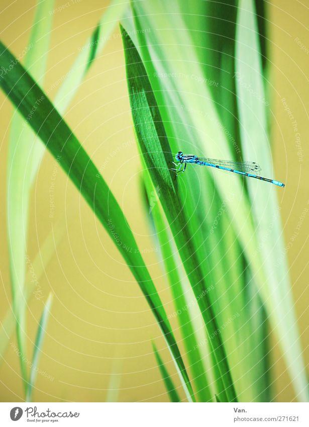 angedockt Natur blau grün schön Pflanze Tier Gras Frühling Garten hell fliegen Wildtier frisch Insekt Halm Libelle