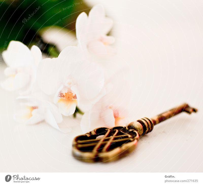key to the heart alt weiß grün Blume Liebe Gefühle Blüte Metall gold Kitsch Stillleben Schlüssel Erwartung Vorfreude Orchidee Messing