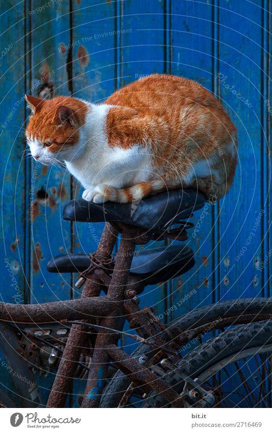 Rote Tigerkatze sitzt auf einem Fahrradsattel vor blauer Tür. Mauer Wand Verkehr Verkehrsmittel Fahrradfahren Tier Haustier Katze Glück listig maritim verrückt