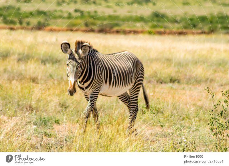 Isoliertes Zebra beim Wandern in der Savanne Spielen Safari Berge u. Gebirge Natur Tier Himmel Gras Park Streifen natürlich wild schwarz weiß Samburu Afrika