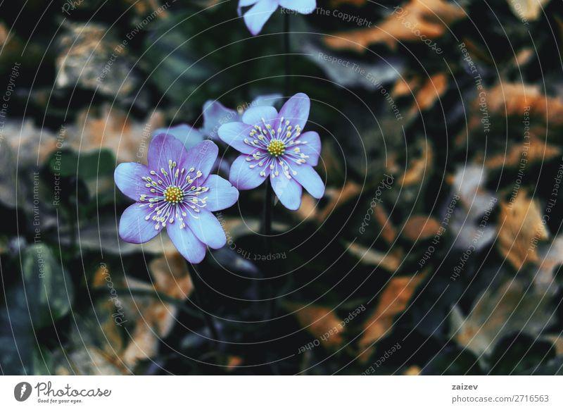 Nahaufnahme von zwei violetten Anemonen-Hepatica-Blüten Anemonenhepatitis gemeinsame Hepatitis Leberblümchen Nierenkraut Pfennigkraut Ranunculaceae Blume