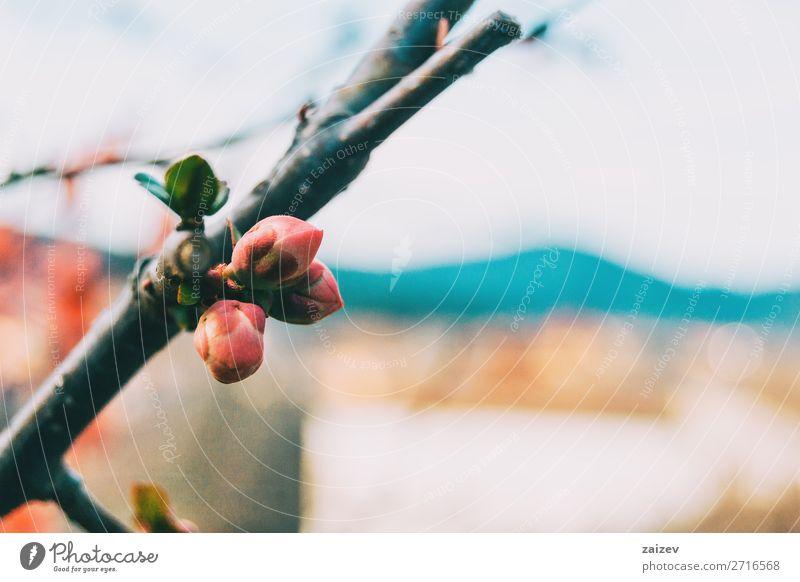 Nahaufnahme von drei rosa Knospen der Chaenomeles japonica Maule's quince Rosiden rosales Blume Blüte niedlich Detailaufnahme Makro schließen nach oben Ast