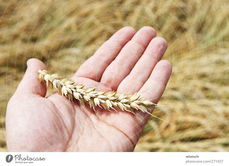 Korn in der Hand Lebensmittel Getreide Ernährung Sommer Finger Pflanze Nutzpflanze Weizen reif Ähren Handfläche Farbfoto Außenaufnahme Nahaufnahme Makroaufnahme