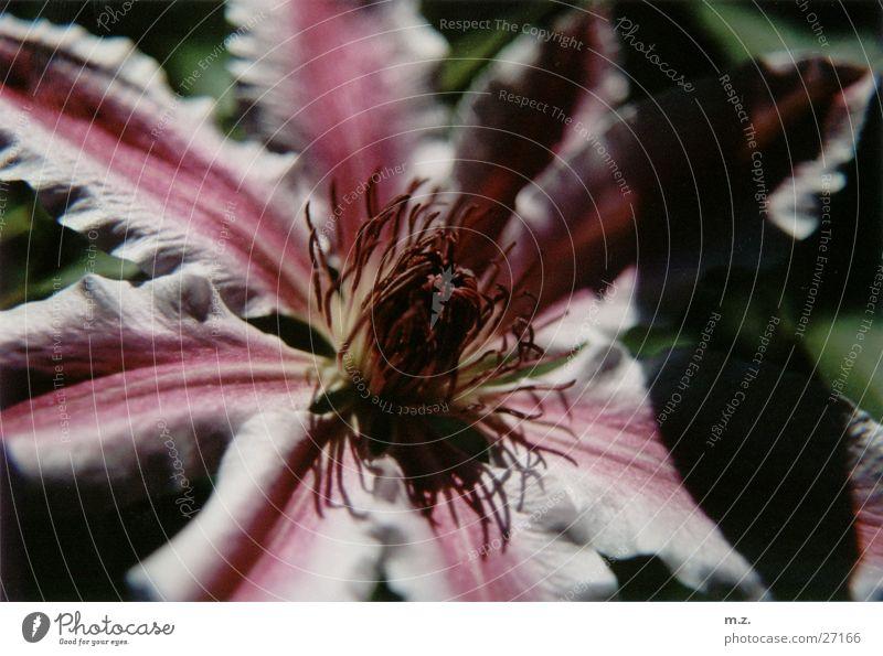 lila blüte Blume Pflanze Farbe Blüte violett Blühend