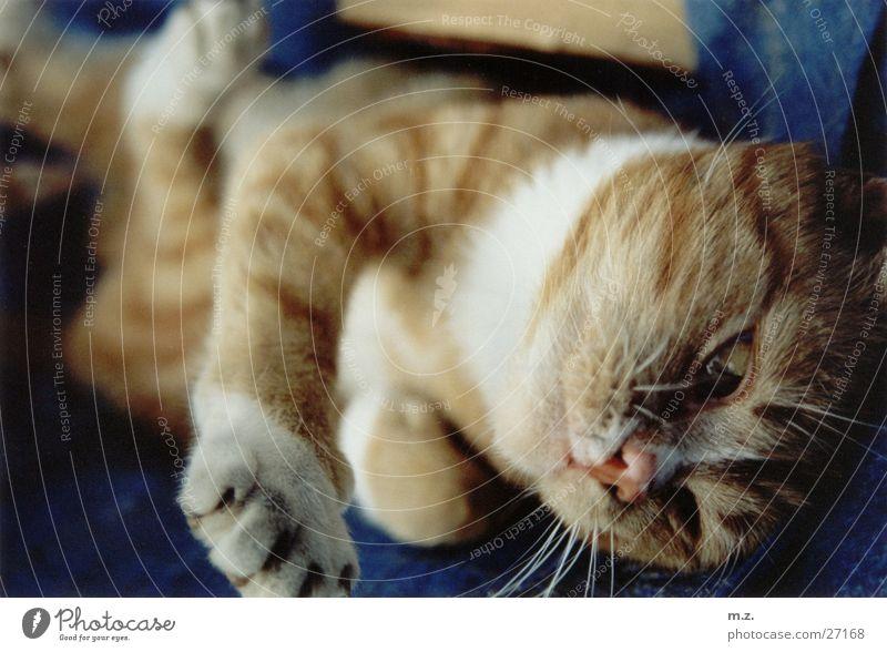 tiger Katze Pfote Unschärfe Hauskatze rekeln gemütlich kuschlig niedlich Körperhaltung Katzenpfote Schwache Tiefenschärfe Nahaufnahme Menschenleer 1 weich