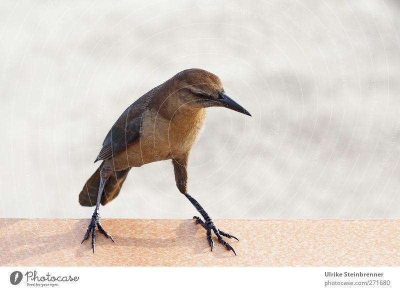 Rechts, links, Cha-Cha Meer Tier Bewegung Küste klein Vogel braun Tanzen Wellen Wildtier sitzen natürlich laufen stehen Brücke Flügel