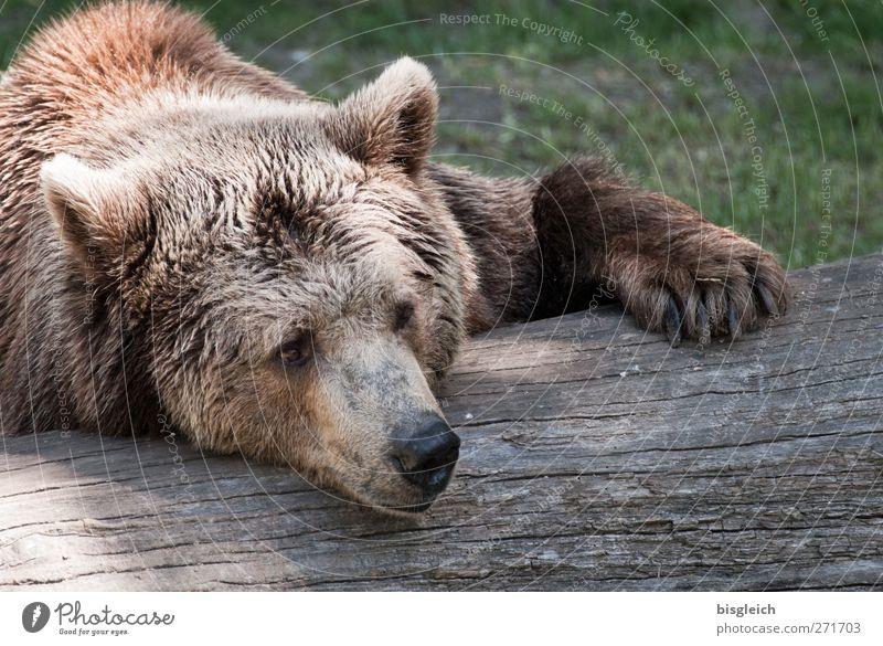 Faulpelz Tier ruhig Erholung träumen braun liegen Wildtier schlafen weich Fell Tiergesicht Gelassenheit Zoo Bär