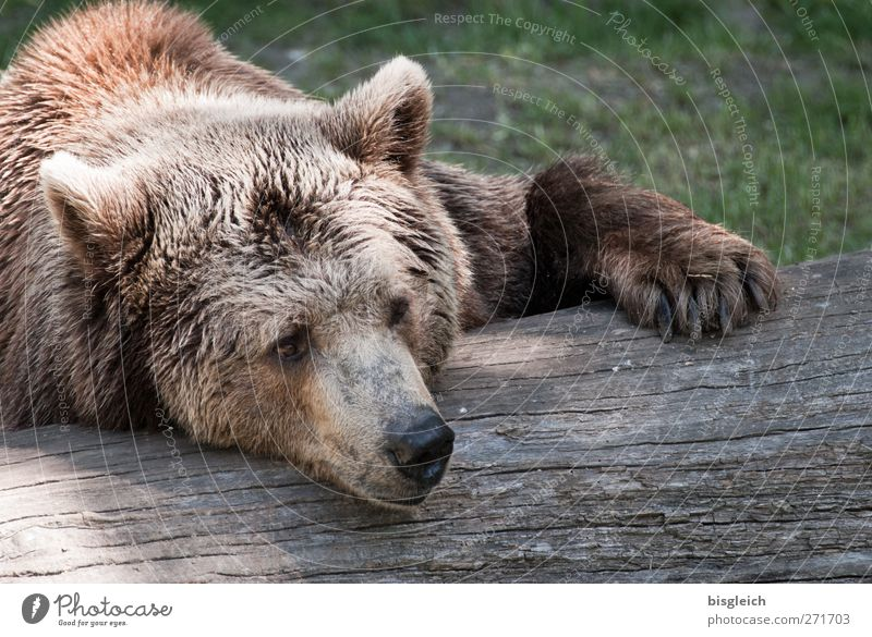 Faulpelz Zoo Tier Wildtier Tiergesicht Fell Bär 1 Erholung liegen schlafen träumen weich braun Gelassenheit ruhig Farbfoto Außenaufnahme Menschenleer Tag