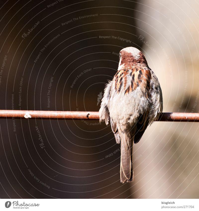 Ins Ungewisse Tier schwarz klein Vogel braun Angst sitzen gefährlich bedrohlich Neugier Zoo Zweig Zukunftsangst Flugangst Spatz
