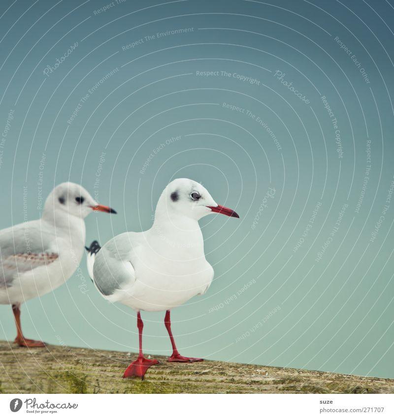 Emma & Jonathan ruhig Umwelt Natur Tier Urelemente Luft Himmel Wolkenloser Himmel Wildtier Vogel Flügel 2 Tierpaar Holz stehen warten kalt klein niedlich blau