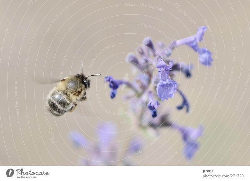 schöner fliegen 2 Natur blau Pflanze Tier Umwelt Frühling grau Blüte fliegen Wildtier Biene Insekt fliegend Melisse