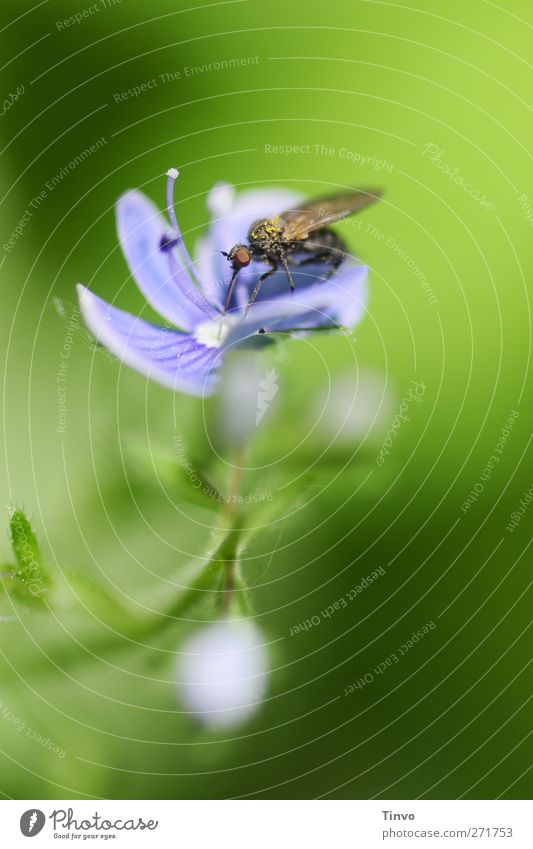 Symbiose Natur blau grün Pflanze Tier schwarz Umwelt Ernährung Frühling klein Blüte Schönes Wetter zart Insekt Partnerschaft saugen