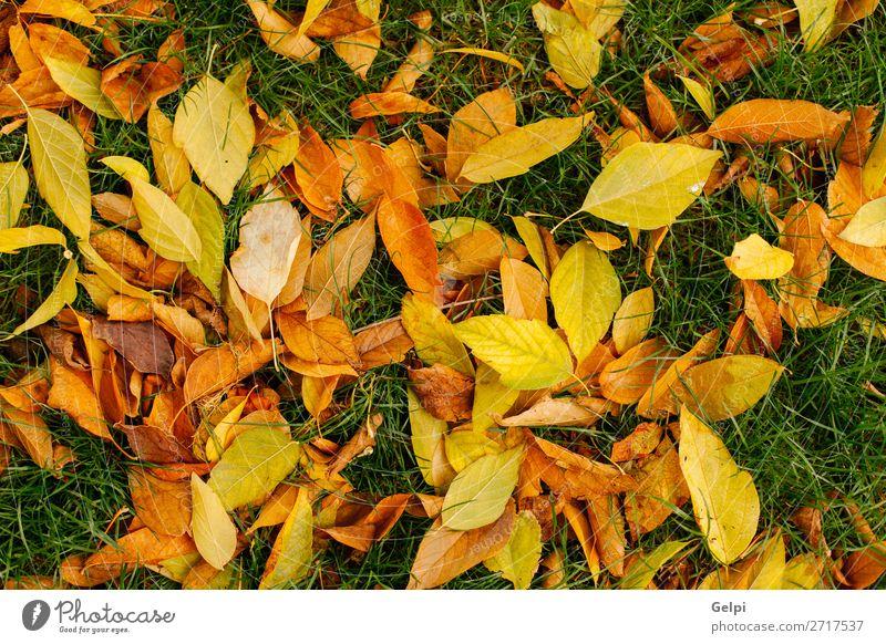 Gefallene Blätter von Bäumen Design schön Garten Dekoration & Verzierung Natur Pflanze Herbst Gras Blatt Park Wald natürlich braun grün Farbe Ahorn Hintergrund