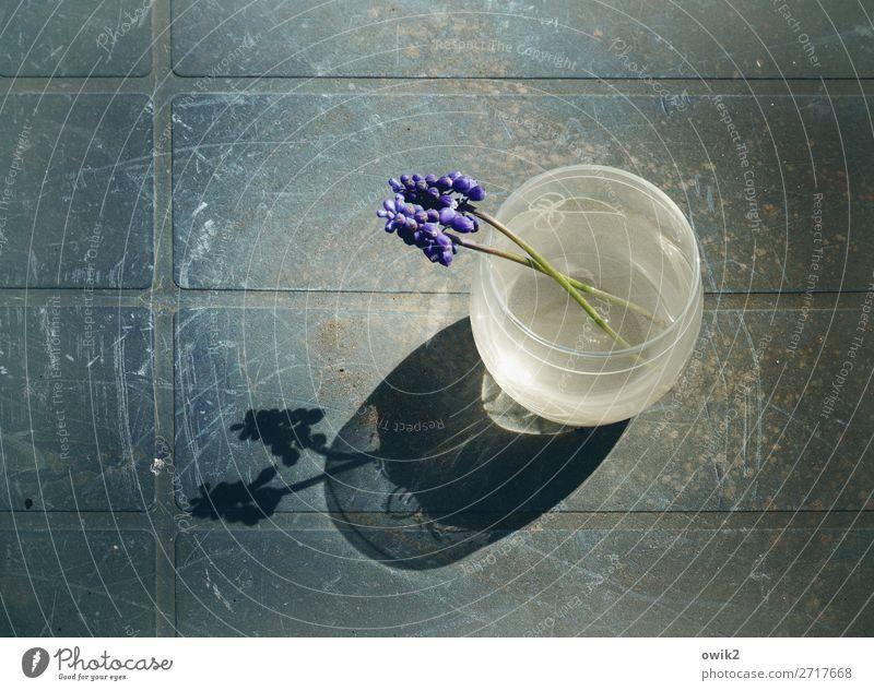 Frisch verliebt Natur Sommer Pflanze Blume ruhig Gefühle Glas Tisch Romantik Kunststoff Vase Einigkeit Traubenhyazinthe