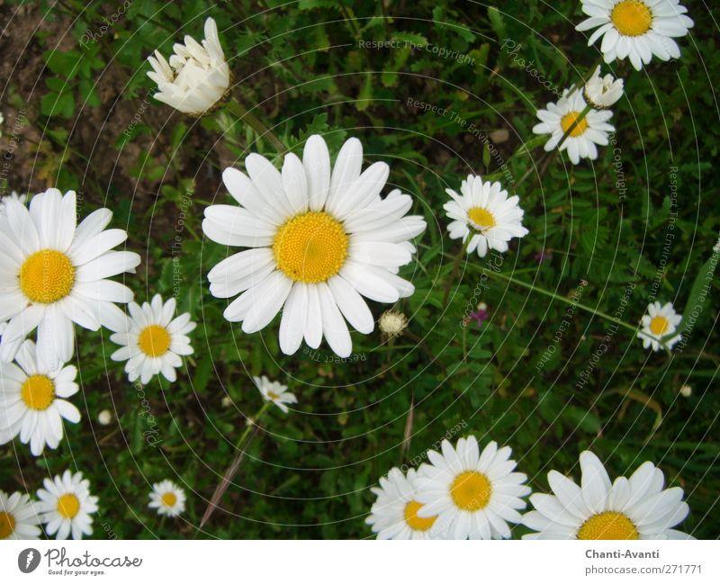 Gänseblümchen Olé Duft Ausflug Gartenarbeit Landwirtschaft Forstwirtschaft Natur Sommer Pflanze Blume Blüte Wiese Blumenwiese positiv gelb grün weiß friedlich