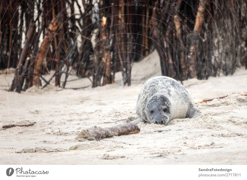 A grey seal lies on the beach on Helgoland Strand Natur Tier Küste Wildtier 1 Zufriedenheit Tideland animal animal themes coast cute Dunes Europa Deutschland