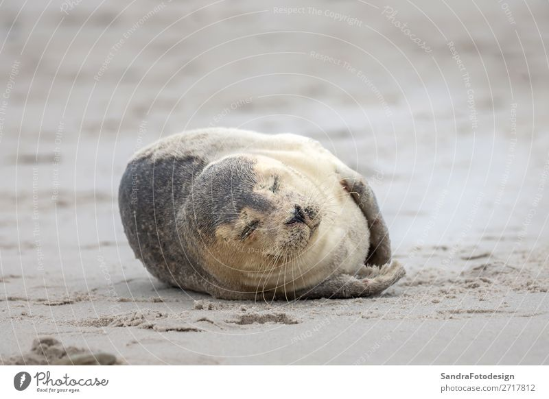 A grey seal lies on the beach on Helgoland Strand Natur Küste Tier Wildtier 1 Zufriedenheit Tideland animal animal themes coast cute Dunes Europa Deutschland