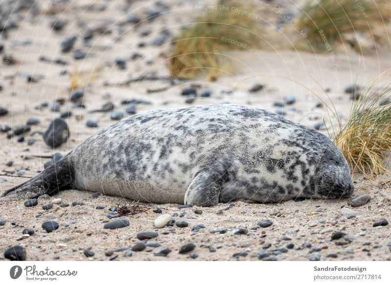 A grey seal lies on the beach on Helgoland Strand Natur Tier Küste Wildtier 1 Zufriedenheit Tideland animal animal themes coast cute Dunes Europa gray seal