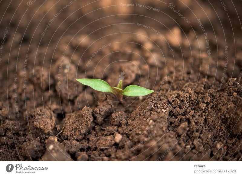 Neugeborene grüne Pflanze mit nur wenigen Blättern Gemüse Leben Sonne Garten Gartenarbeit Baby Umwelt Natur Erde Baum Blatt Wald Wachstum frisch klein neu