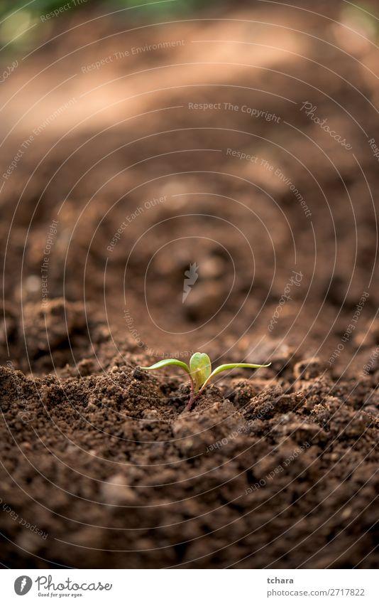 Neugeborene Pflanze mit nur wenigen Blättern Gemüse Leben Sonne Garten Gartenarbeit Baby Umwelt Natur Erde Baum Blatt Wald Wachstum frisch klein neu grün Beginn