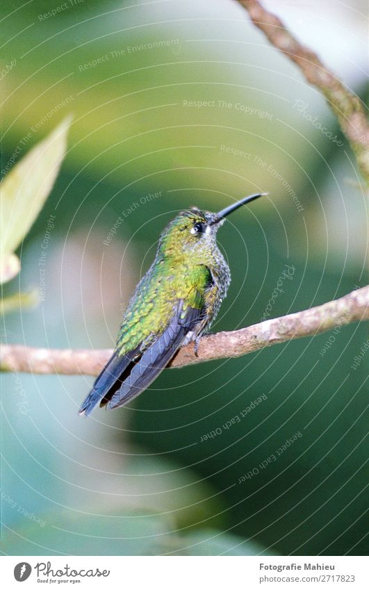Summender Vogel exotisch schön Dekoration & Verzierung Kunst Natur Tier Blume Blatt Wald Urwald hell klein natürlich wild blau grün weiß Farbe Costa Rica