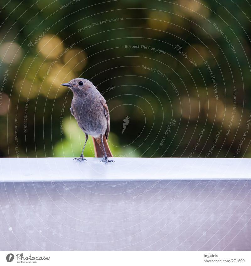 Neugieriges Rotschwänzchen Natur grün Tier ruhig gelb Leben grau Garten Vogel braun Stimmung Wildtier stehen Flügel niedlich beobachten