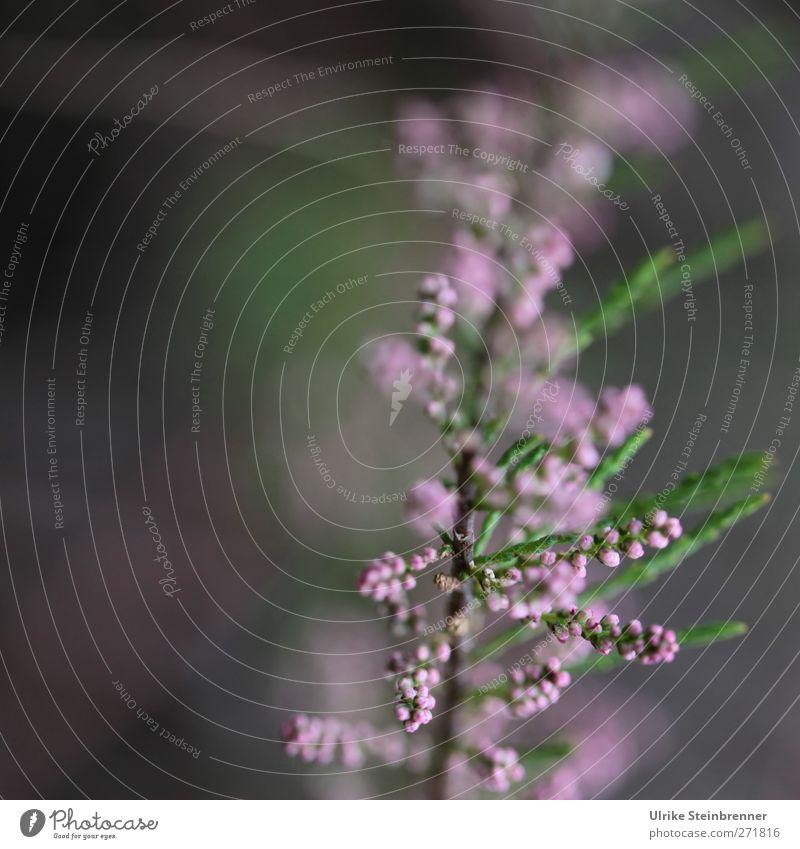 AST 5 - Beelitzer Blüte Natur Pflanze Frühling Sträucher Blatt Tamariske Blütenknospen Frühlingstamariske Park Blühend Duft Wachstum ästhetisch natürlich schön