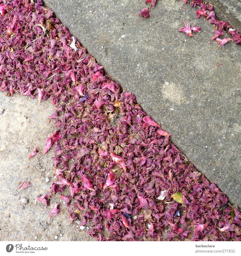 Vergängliche Schönheit schön Pflanze Farbe Straße Leben Frühling Wege & Pfade grau Blüte Stimmung rosa ästhetisch Wandel & Veränderung Vergänglichkeit fallen Dorf