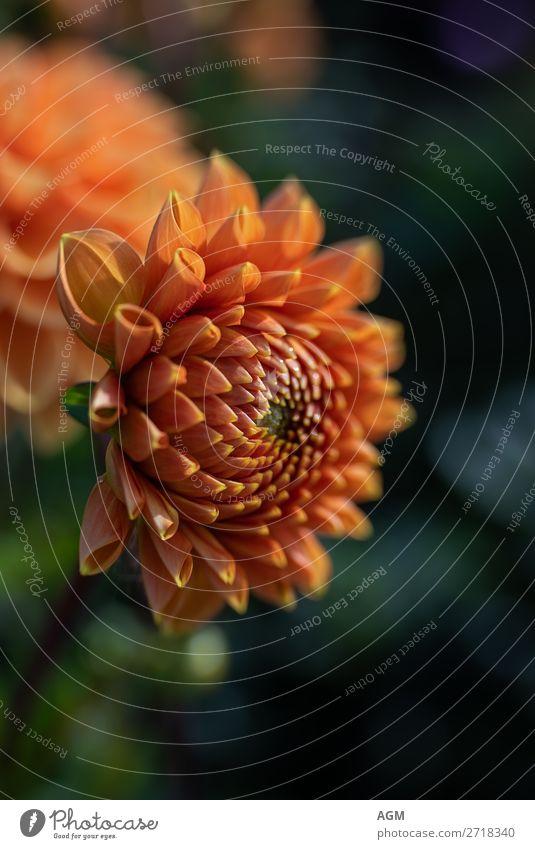 Dahlie goldorange Natur Pflanze Herbst Blume Blüte Park Blumenstrauß Duft Wachstum Fröhlichkeit Lebensfreude Ausdauer Asteraceae Dahlia Dahlien Freiraum Text