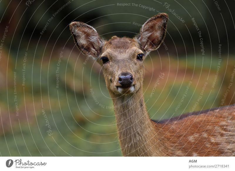 Damwild aufmerksam schauend Nahaufnahme Blickkontakt Lebensmittel Sommer Ohr Natur Tier Wildtier Wachsamkeit Decke Generation Geweihstangen Hochwild