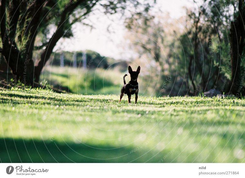 Bis hierher und nicht weiter! Hund Natur grün Baum Pflanze Sommer Tier Landschaft Wiese Gras klein Park stehen niedlich bedrohlich Haustier