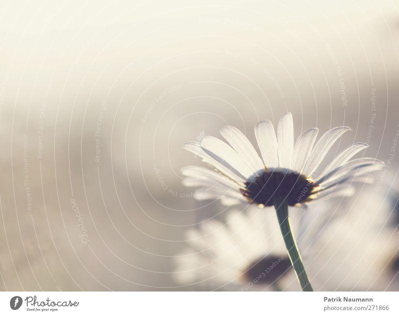 Sunshine Margherita Umwelt Natur Pflanze Tier Sonnenaufgang Sonnenuntergang Blume Blüte Wildpflanze Margerite Wiese Blühend glänzend genießen leuchten verblüht