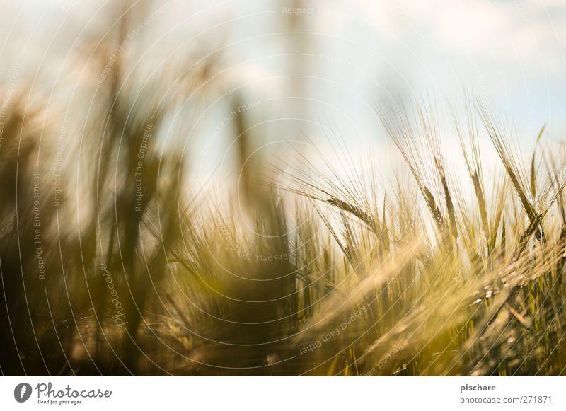 Körnung Himmel Natur gelb Feld gold Getreide Ernte Nutzpflanze