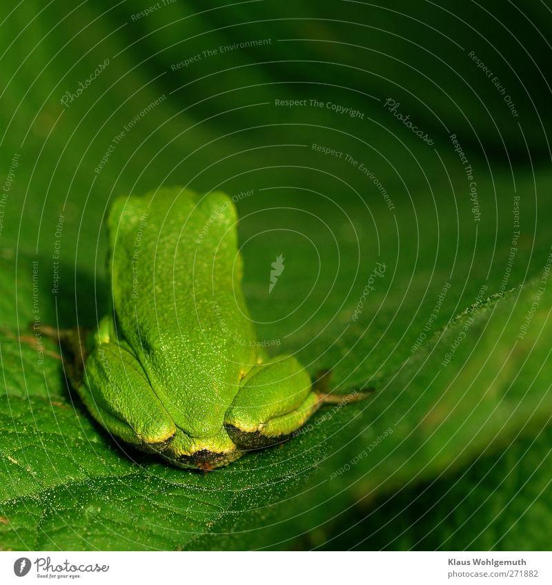 """""""Ach leck mich doch."""" Natur grün Sommer Tier Umwelt Frühling sitzen warten Frosch"""