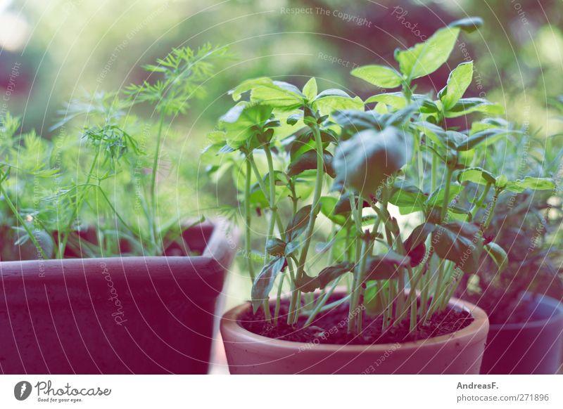Kräutergarten Lebensmittel Kräuter & Gewürze Ernährung Bioprodukte Koch Umwelt Natur Pflanze Grünpflanze Nutzpflanze grün Kräuterwiese Basilikum Küchenkräuter