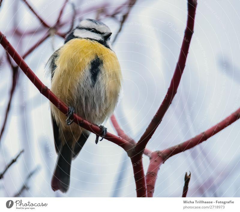Blaumeise Portrait Natur Tier Himmel Sonnenlicht Schönes Wetter Baum Ast Zweige u. Äste Wildtier Vogel Tiergesicht Flügel Krallen Meisen Schnabel Auge Feder 1