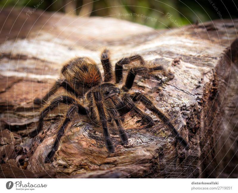 Spinne Umwelt Natur Landschaft Tier Nutztier Wildtier Jagd bedrohlich Ekel gruselig schön Tierliebe Angst Entsetzen Vogelspinne Arachnophobie Tierschutz elegant
