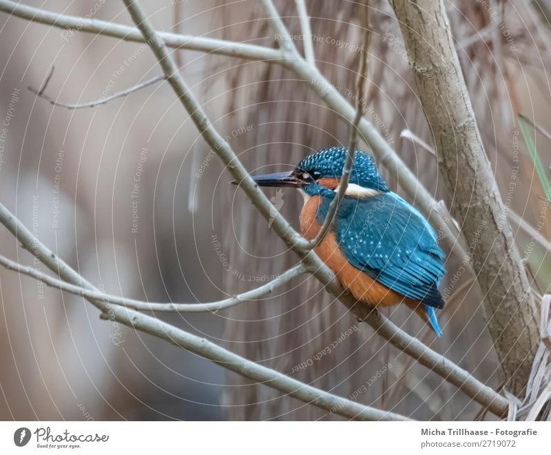 Eisvogel im Strauch Natur Tier Sonnenlicht Schönes Wetter Sträucher Flussufer Wildtier Vogel Tiergesicht Flügel Krallen Eisvögel Schnabel Auge Feder 1