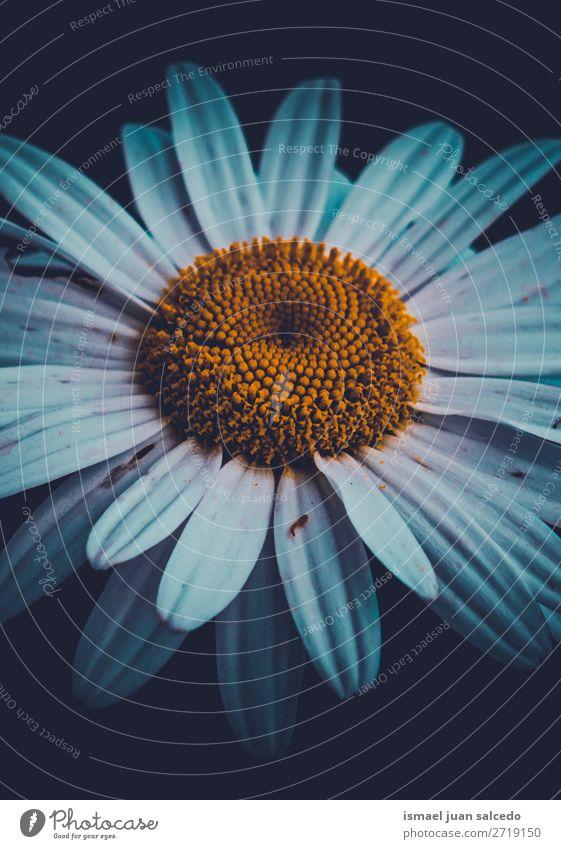 schöne weiße Gänseblümchenblume Blume Blütenblatt Pflanze Garten geblümt Natur Dekoration & Verzierung romantisch Beautyfotografie Zerbrechlichkeit Hintergrund