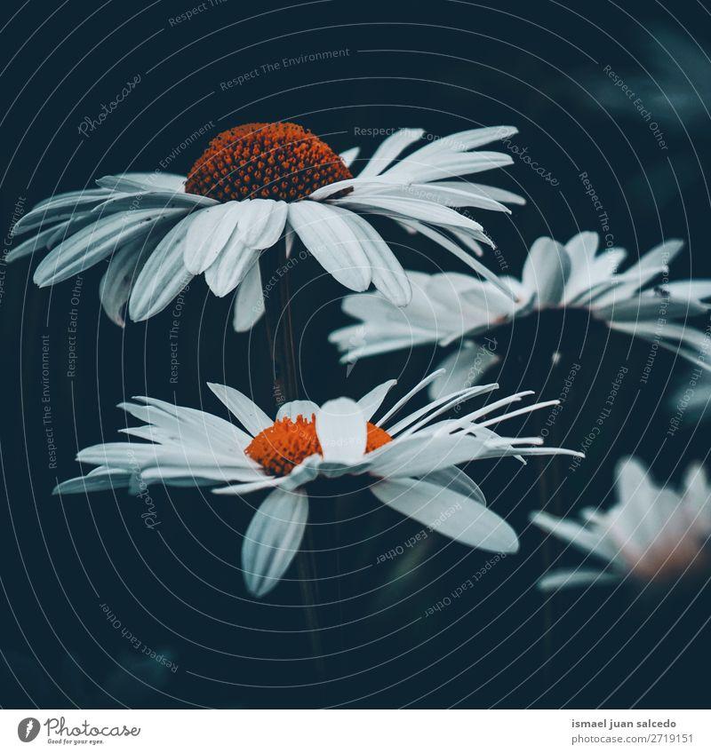 schöne Gänseblümchenblume Blume weiß Blütenblatt Pflanze Garten geblümt Natur Dekoration & Verzierung romantisch Beautyfotografie Zerbrechlichkeit Hintergrund